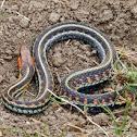 Red Spotted Garter Snake