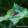 Common swamp hoverfly