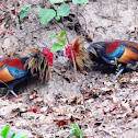 Red fowl
