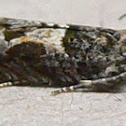 Constricted Sonia Moth