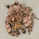Beata Jumping Spider