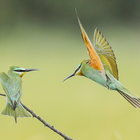 Here I come by Rian Van Schalkwyk - Animals Birds ( flying, colourful, birds, blue-cheeked bee eater, bee eater,  )