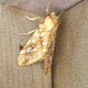 Hickory Tussock Moth