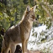 Coyote Call