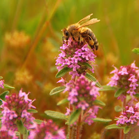 Working bee by Sebastian Mezei - Nature Up Close Gardens & Produce ( nature, bee, flowers )