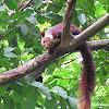 Maabar flying squirrel