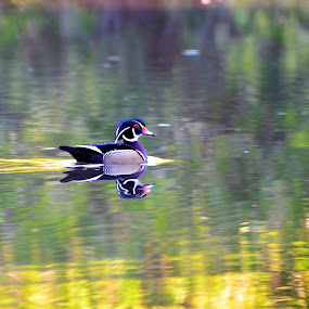 Wood Duck on Pond by Bo Chambers - Animals Birds ( drake, swimming duck, male wood duck, colorful, wood duck, duck, reflections, pond, swimming )