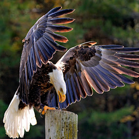 Burian pix Eagle Eat eadg 8646 crm.jpg