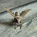 Daphnusa hawk moth