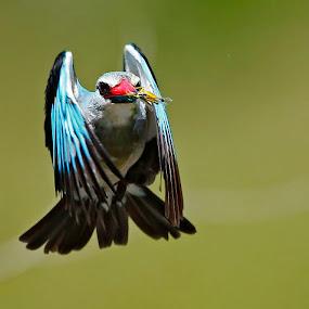Feeding time.. by Chris Krog - Animals Birds ( senegalensis, halcyon, food, kingfisher, woodland )