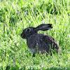 European hare, liebre común