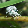 Asian Gray Weevil