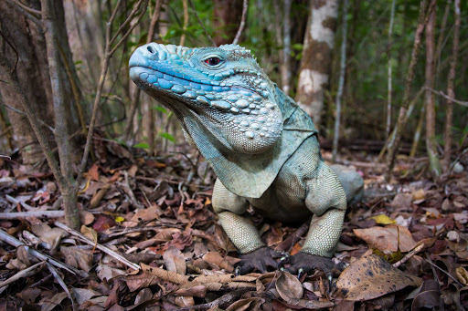 Cayman-Islands-blue-iguana-better - The colorful blue iguana of the Cayman Islands.