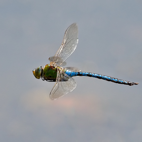 Emperor Dragonfly by Derek Lees - Animals Insects & Spiders ( cannock chase, uk, emperor dragonfly, in-flight, insect, dragonfly )