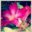 Kamboja Flower