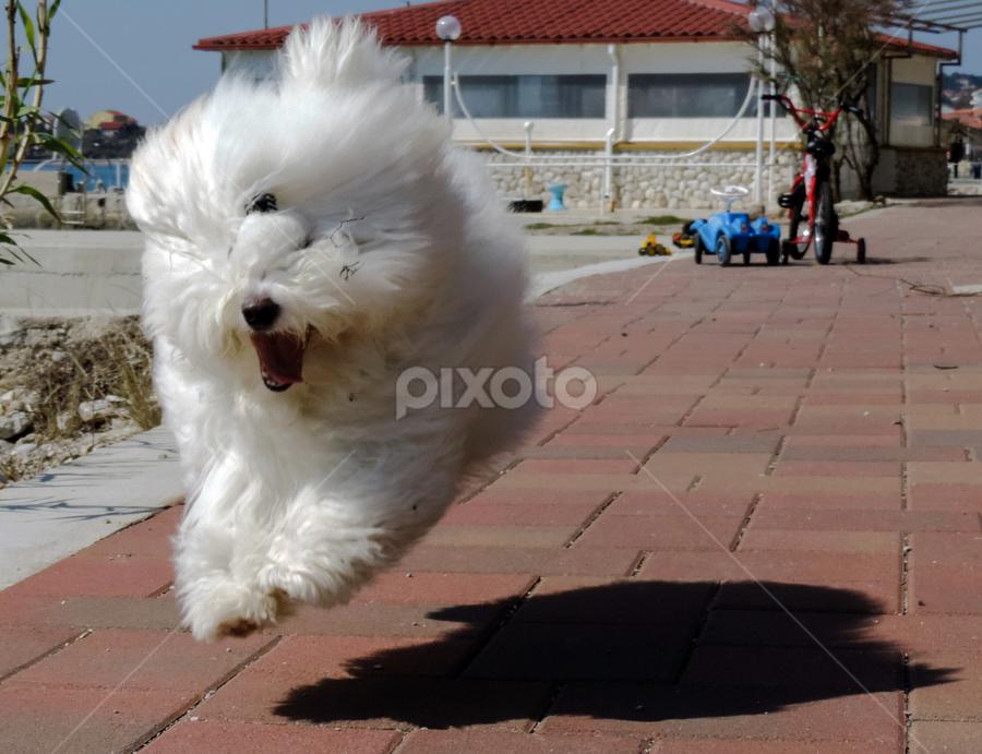Running and flying by Adriana Kastelan - Animals - Dogs Running