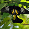 Commmon Birdwing