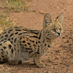 Serval by Tony Murtagh - Animals Lions, Tigers & Big Cats ( cats, animals, big cats, serval, wildlife, tanzania,  )