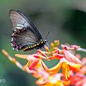 Polystictus Swallowtail