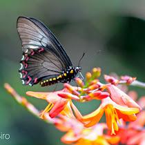 Borboletas do Parana - Butterflies from Parana, Brazil