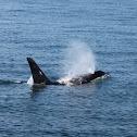 Orca or Killer Whale