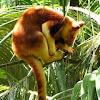 Tree Kangeroo
