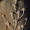 Mycena sp.