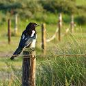 Common Magpie