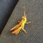 Colourful Grasshopper