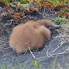 Great skua (Part 2: chicks)