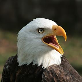 Male Bald Eagle Chirping by Robert Hamm - Animals Birds ( otavalo, eagle, bird of prey, ecuador, bald eagle, american bald eagle, bird, hunter, carnivore, nature, outdoor, raptor, bird sanctuary,  )