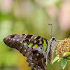 Tailed Jay, Green-spotted Triangle, Tailed Green Jay, or the Green Triangle