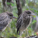 Black crowned night heron (Juvenile)