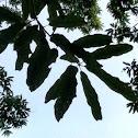 Lea's Oak
