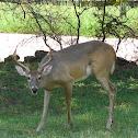 White tail deer - buck