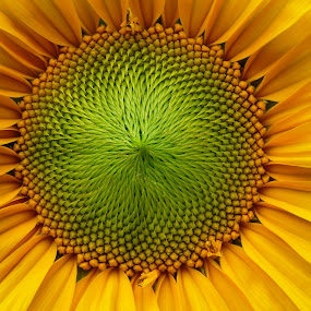 Hypnotic sunflower by Patricia Vleeming - Flowers Single Flower ( hope,  )