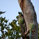 Rose-ringed Parakeet