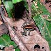Orange and black poison dart frog