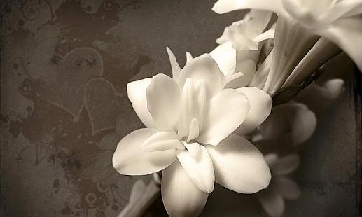 白色的花朵壁紙
