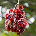 Morpho butterfly caterpillar