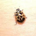 V-Marked Lady Beetle