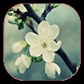 Hoa Mai Tet 2016 Hinh nen dong icon