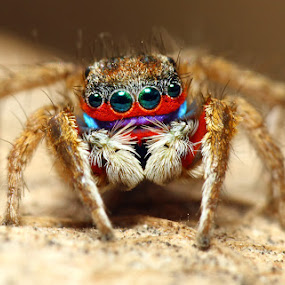 Rainbow Spider by Karthi Keyan - Animals Insects & Spiders ( macro, jumping, salticidae, spider, insect )