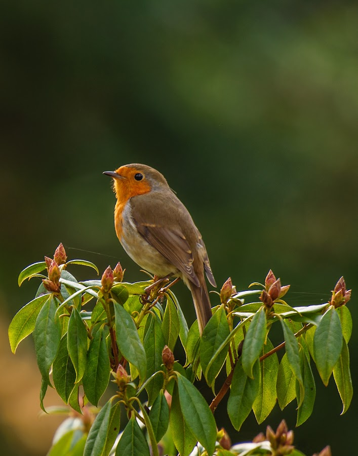 Rouge gorge by Avtar Singh - Animals Birds ( resting, rouge gorge, avtarsingh, green leaves, reflection in eyes, flower budds, spider web on top of the leaves )