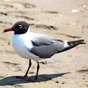 Gaviota reidora. Black-headed gull