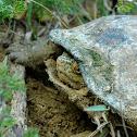 Yellow mud turtle