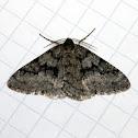 Small Phigalia