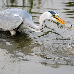 Grey Heron by BoonHong Chan - Animals Birds ( bird, bird with prey, park, grey heron, lake, heron )