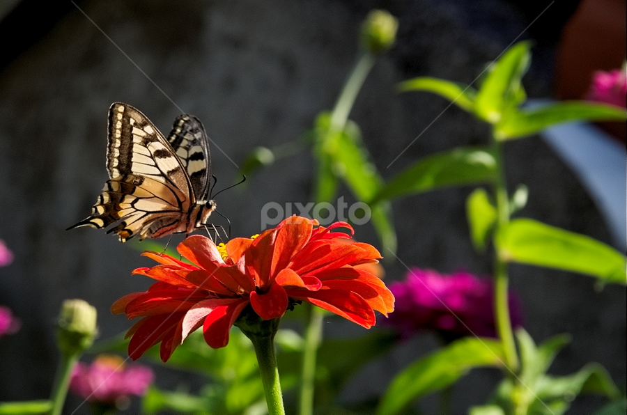 Butterfly by Obrt Bubiart - Animals Other ( butterfly )
