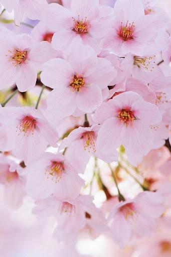 Cherry Blossoms Live Wallpaper